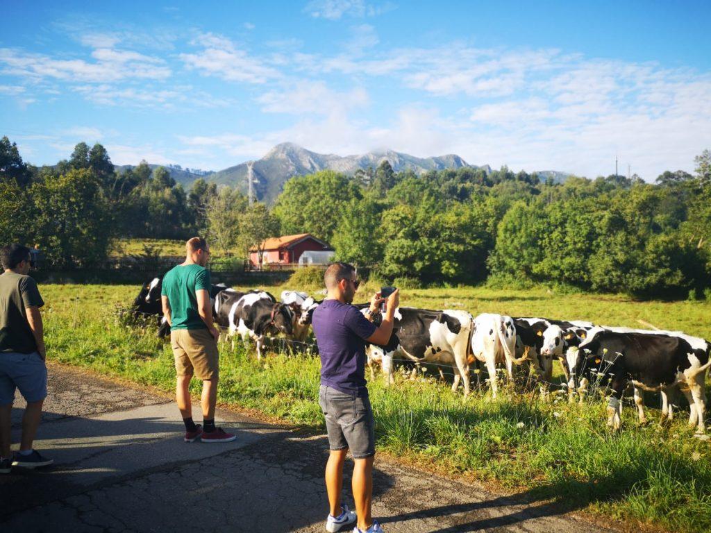 10 cosas que hacer en Asturias - Vacas